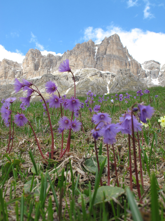 flowers in the Dolomites by Pete Murray